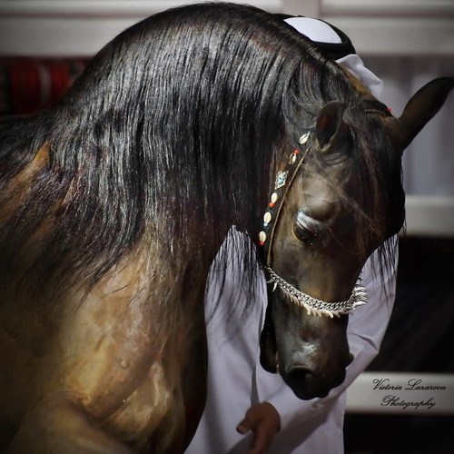 The Arabian Horse. <br/> Al Shaqab Stud